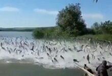 Photo of Un cardumen con un gran número de peces llegó este fin de semana al río Orinoco, en el estado Amazonas